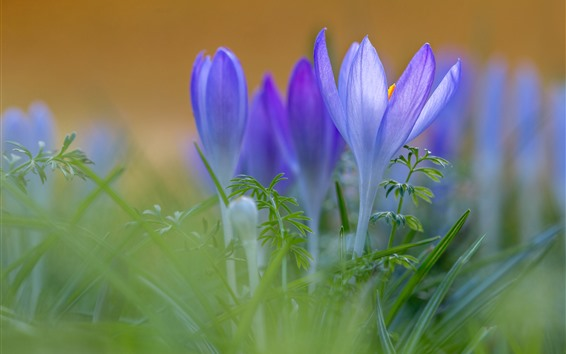 Fondos de pantalla Crocuses púrpura, pétalos, hierba verde