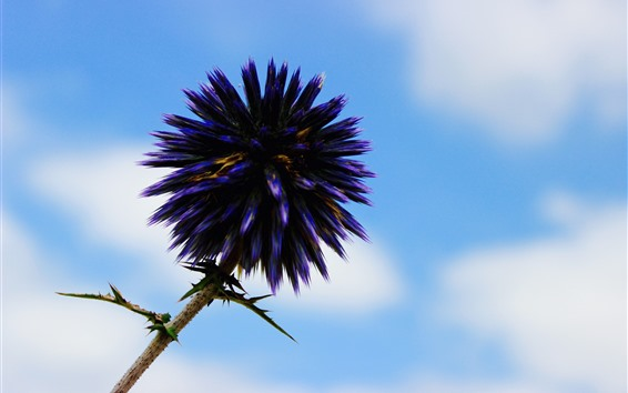 Обои Фиолетовый цветок, иголки