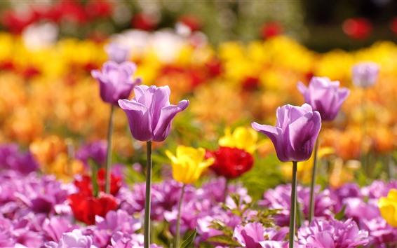 Fondos de pantalla Tulipanes púrpuras, flores de primavera