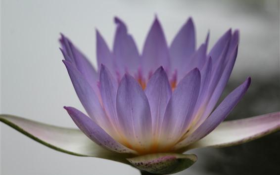 Wallpaper Purple water lily, flower macro photography