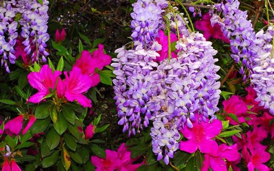 Fondos de pantalla Flores de glicinia púrpura