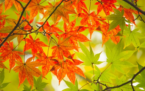 Обои Красные и зеленые кленовые листья, осень
