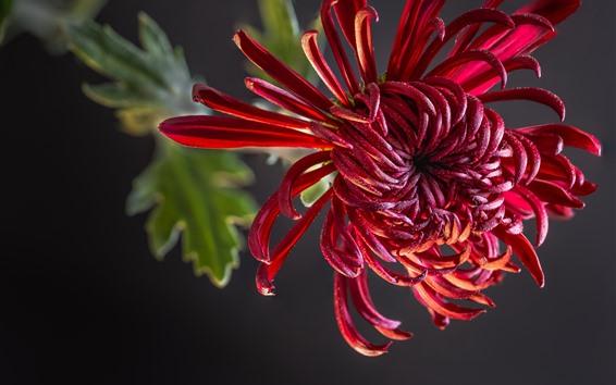 Fondos de pantalla Crisantemo rojo, pétalos, fondo gris.