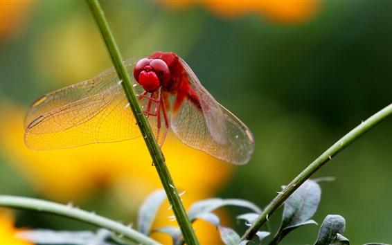 壁紙 赤いトンボ、草の茎