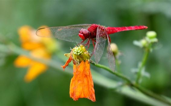Fondos de pantalla Libélula roja, primer plano de insecto, flor amarilla