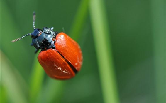 Fondos de pantalla Fotografía macro de Mariquita roja, insecto, fondo verde