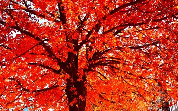 Papéis de Parede Folhas de bordo vermelho, árvore, outono