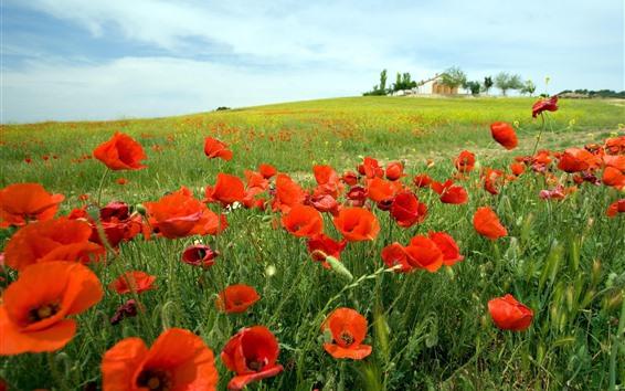 Fondos de pantalla Amapolas rojas, primavera, campo