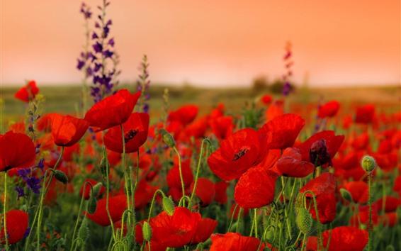 배경 화면 빨간 양 귀 비, 꽃, 씨앗