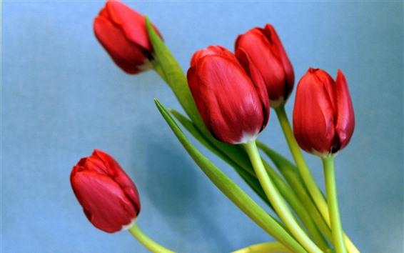Fondos de pantalla Tulipanes rojos, fondo azul