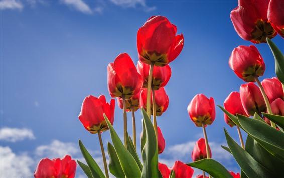 Papéis de Parede Tulips vermelhos, céu azul
