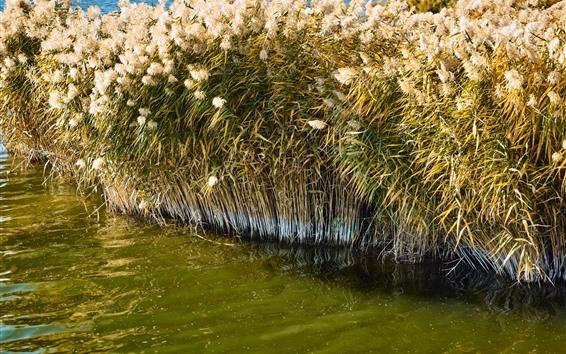 Fondos de pantalla Cañas, verano, agua, pantano