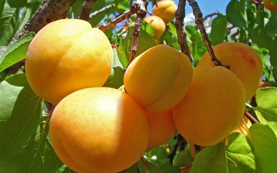 Fondos de pantalla Albaricoques maduros, fruta