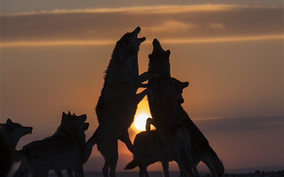 Wallpaper Some wolves, playful, sunset, silhouette