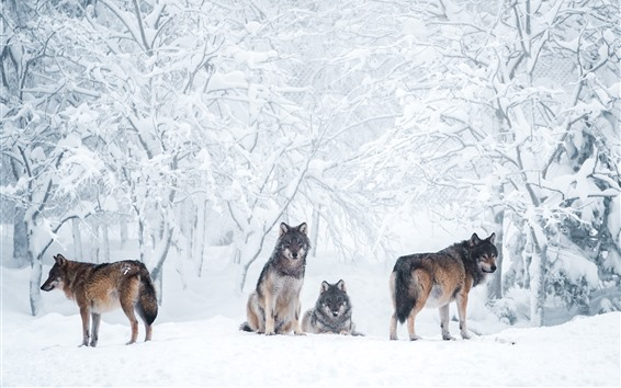 Papéis de Parede Alguns lobos, neve espessa, árvores, inverno