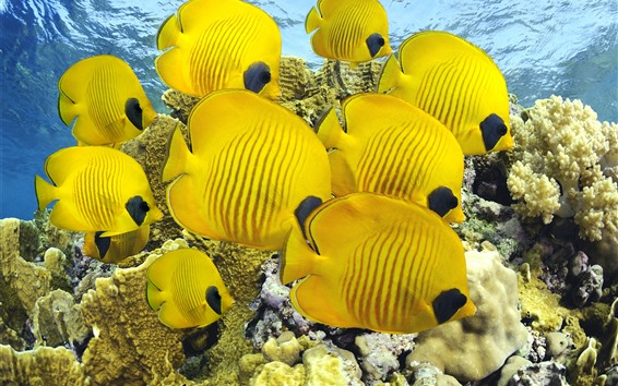 Fondos de pantalla Un pez amarillo, pez payaso