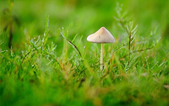 배경 화면 봄, 잔디, 버섯, 물방울