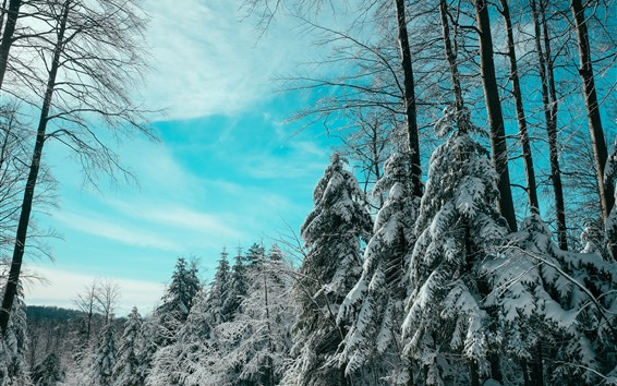 Fondos de pantalla Abeto, árboles, nieve, invierno, cielo azul.