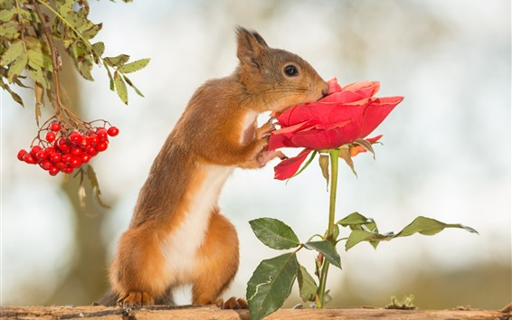 Wallpaper Squirrel and red rose, berries