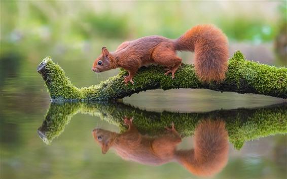 Fondos de pantalla Ardilla, rama del árbol, musgo, reflexión del agua