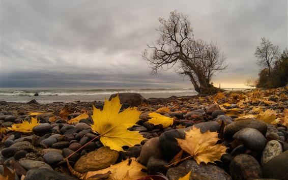 Fondos de pantalla Piedras, hojas de arce amarillo, árbol, mar, otoño