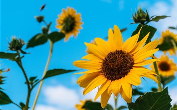 Fondos de pantalla Girasoles, pétalos amarillos, cielo azul, verano.
