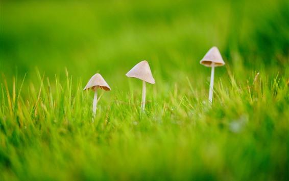 배경 화면 세 버섯, 푸른 잔디, 봄