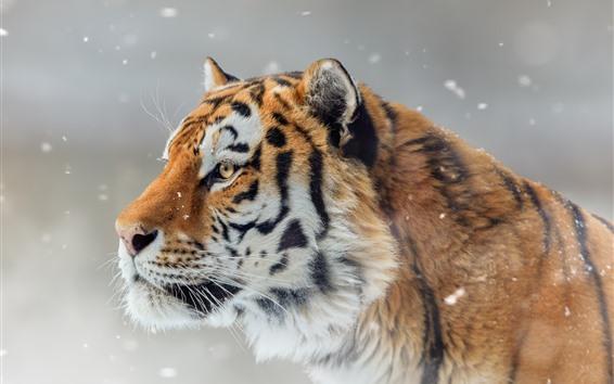 Fondos de pantalla Tigre, vista lateral, fauna, nieve, invierno.