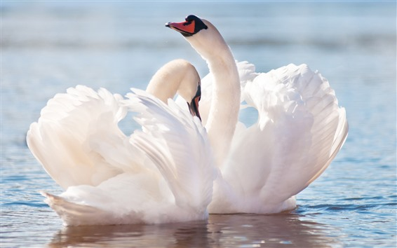 Fondos de pantalla Dos cisnes blancos, alas, agua, estanque