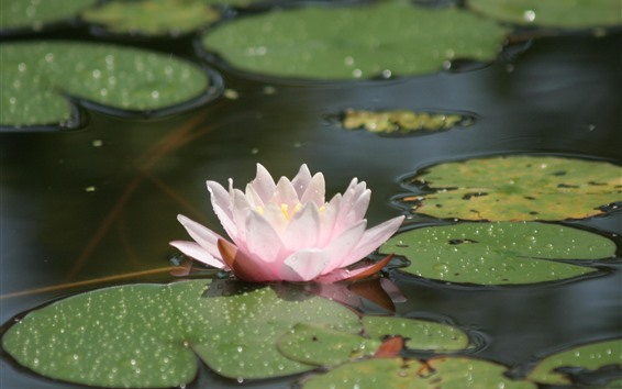 Fondos de pantalla Lirio de agua, pétalos rosados, estanque, gotas de agua