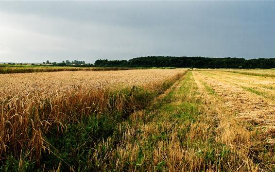 Fondos de pantalla Campo de trigo, Ucrania