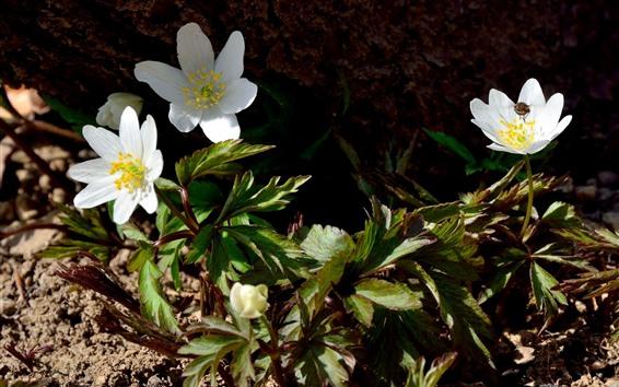 Fondos de pantalla Anemona blanca flores