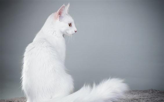 Обои Белый Кот вид сзади, пушистый, хвост