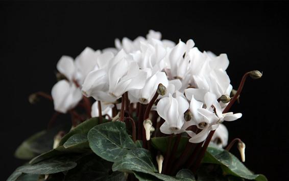 Fondos de pantalla Flores de ciclamen blancas
