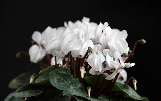 Wallpaper White cyclamen flowers