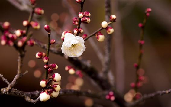 Fondos de pantalla Flores de ciruela blanca, ramitas, primavera