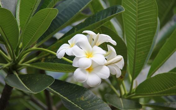 Fondos de pantalla Plumeria blanca, flores, hojas verdes