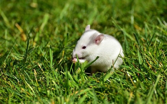 Papéis de Parede Rato branco, grama verde