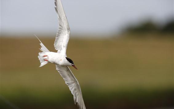 Fondos de pantalla Gaviota blanca, vuelo, alas