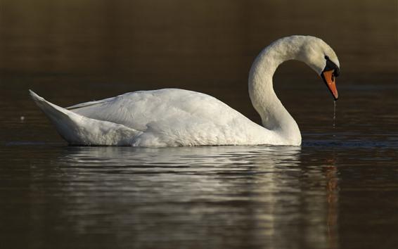 Wallpaper White swan, water