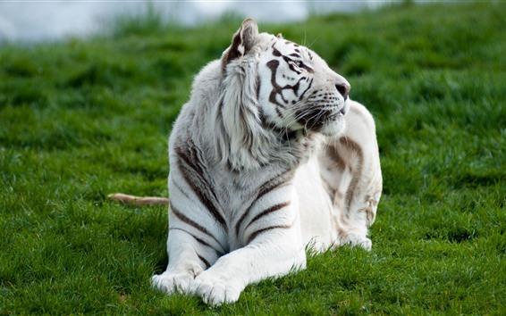 Fondos de pantalla Vista frontal de tigre blanco, resto, césped