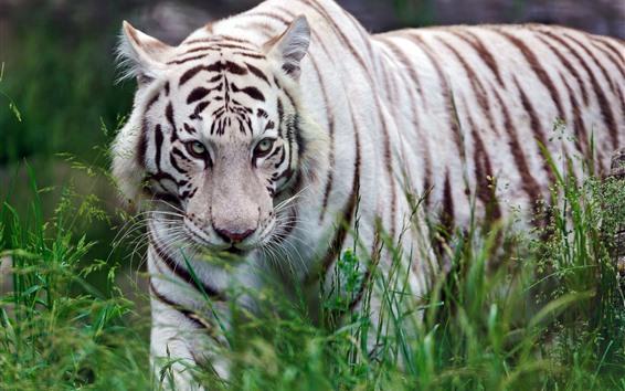 Fondos de pantalla Caminata de tigre blanco, césped, vida silvestre