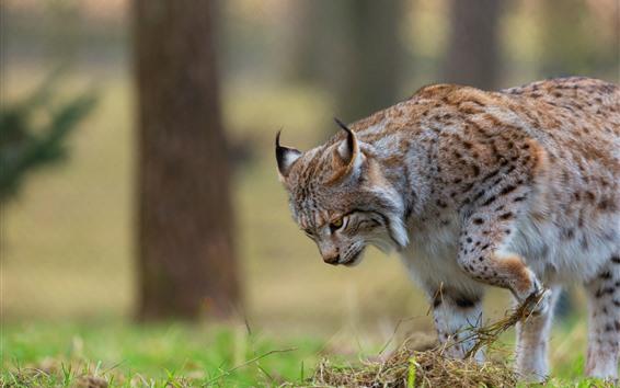 Papéis de Parede Passeio do Wildcat, lince