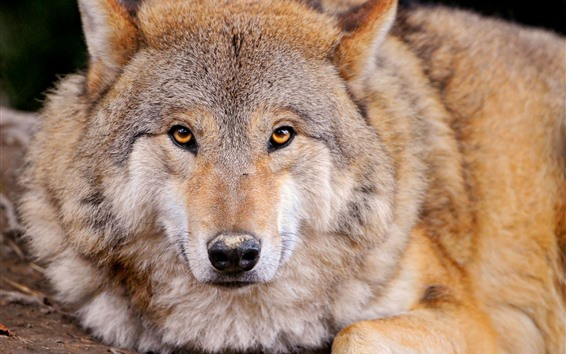 Wallpaper Wolf front view, face, eyes, nose