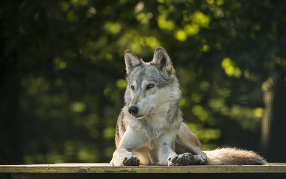 Fondos de pantalla Lobo, mira, fondo nebuoso