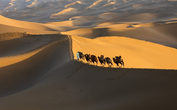 Wallpaper Xinjiang Kumtag Desert, camel, China
