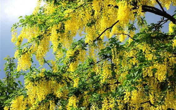 Fondos de pantalla Flor de acacia amarilla.