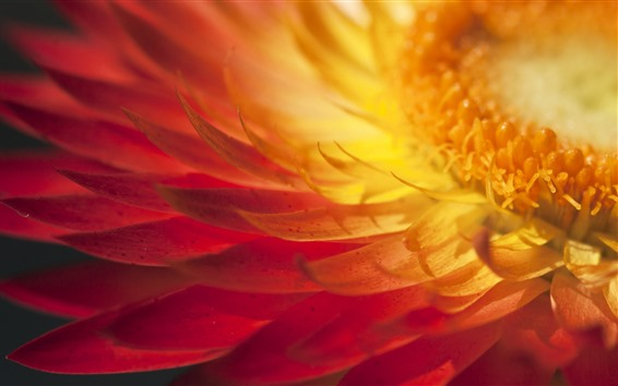 Fondos de pantalla Flor amarilla macro fotografía, pétalos, pistilo.