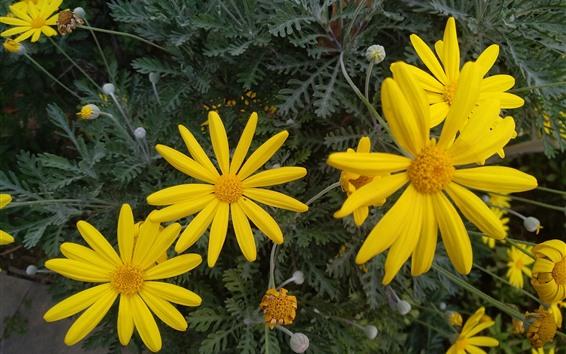 Fondos de pantalla Flores amarillas, crisantemo