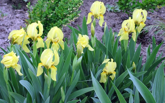 Fondos de pantalla Iris amarillos